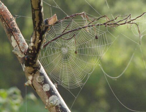 Mușcătura de păianjen: cum o recunoști și cum o tratezi